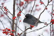 01569-015.03 Dark-eyed Junco (Junco hyemalis) in Common Winterberry (Ilex verticillata)  in winter, Marion Co. IL