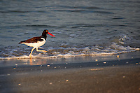 American Oystercatcher at Fort De Soto Park, St. Petersburg Florida.