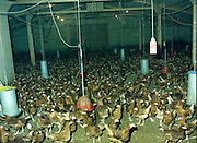Poultry House At Warrenstown,Co Meath.   (R54)..1987..15.04.1987..04.15.1987..15th April 1987..The Salesians of Don Bosco came to Warrenstown in 1922 and opened an Agricultural College in 1923. In 1958 a new site beside the old College was developed and the present building erected..From the late 1950s, students of horticulture began attending Warrenstown and in 1968 a two-year course in commercial horticulture was established at the request of the Department of Agriculture...Image shows the interior of the Poultry House at Warrenstown Agricultural College, Warrenstown, Co Meath, where the hens roam freely within the area.