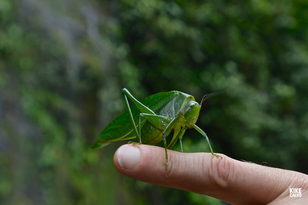 Grasshopper on a finger on the western slope of the West Andes and part of the Chocó Biogeographic Region.