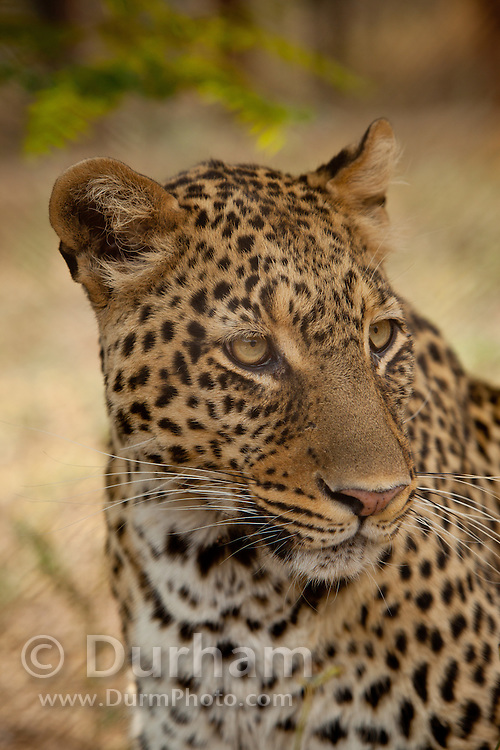 An African Leopard (Panthera pardus) at the Chipangali Wildlife Orphanage in Bulawayo, Zimbabwe. © Michael Durham / www.DurmPhoto.com.
