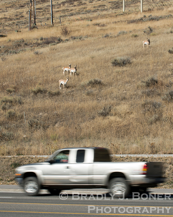 Pronghorn make their way along the hillside near Broadway Avenue on Friday afternoon. Motorists should be vigilant of migrating wildlife on roadways throughout Jackson Hole.