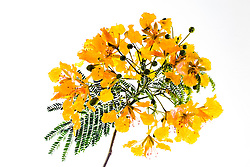 Yellow Poinciana#17