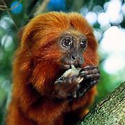 Besides different plant parts and insects Golden Lion Tamarins (Leontopithecus rosalia)occasionally feed on frogs. Wild animals in their natural habitat | Neben planzlicher Nahrung und Insekten fressen Löwenäffchen (Leontopithecus rosalia) gelegentlich auch Frösche.