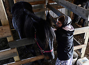 Tarzan, left, and Anna Martin, share a moment in his stall at the Martin family home in Penn Yan, NY, Friday, December 8, 2017. An increasing number of accidents have been occuring between motor vehicles and horse-and-buggies in the heavily Mennonite populated area of upstate New York. Anna's father, Ivan Martin, provides buggy safety instruction for other Mennonites. <br /> (Heather Ainsworth for The New York Times)