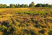 Heather and bracken on heathland, Suffolk Sandlings, near Shottisham, England, UK