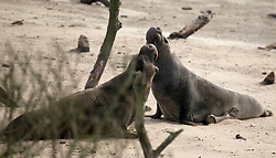 Two male elephant seals stage a brief skirmish at Ano Nuevo State Park in Pescadero, Calif., Friday, March 3, 2017, where the breeding season for Earth's largest pinnipeds is winding down. (Photo by D. Ross Cameron)