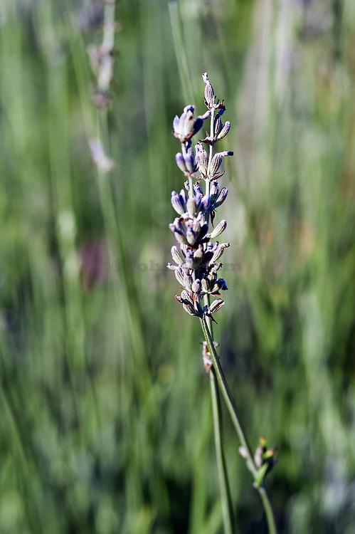 Lavender detail.