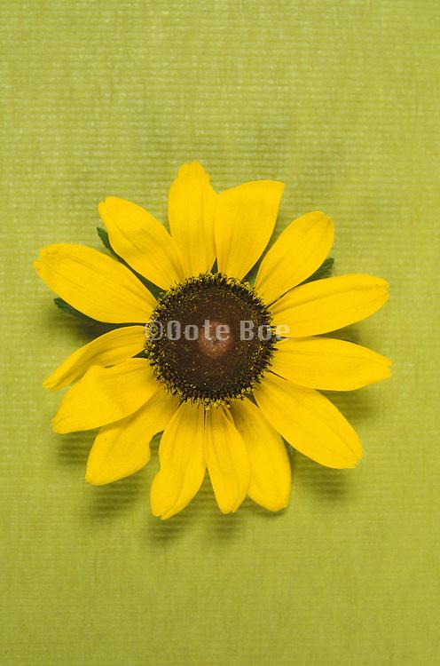 Close up of a flower Black Eyed Susan