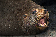 Galapagos Fur Seal (Arctocephalus galapagoensis) Cabo Douglas, Fernandina Island.<br /> GALAPAGOS ISLANDS<br /> ECUADOR.  South America<br /> These are the smallest of the world's 7 species of fur seals with males only reaching 65-80kg's. They are found mostly in the upwelling zones  in the west of the archipelago. They are usually quite solitary and avoid body contact with other fur seals, preferring to be in the shady lava crevices. They are nocturnal feeders and thus have very large eyes and good nocturnal vision. <br /> ENDEMIC TO GALAPAGOS.