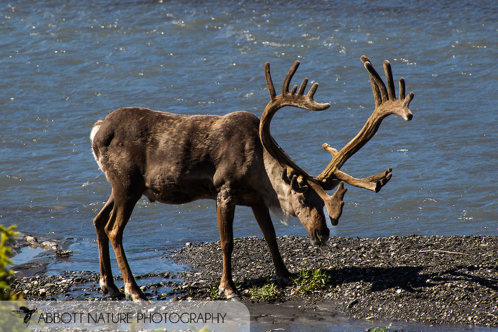 Caribou (Rangifer tarandus)<br /> ALASKA: Denali Borough<br /> Denali National Park<br /> 11-July-2012<br /> J.C. Abbott &amp; K.K. Abbott