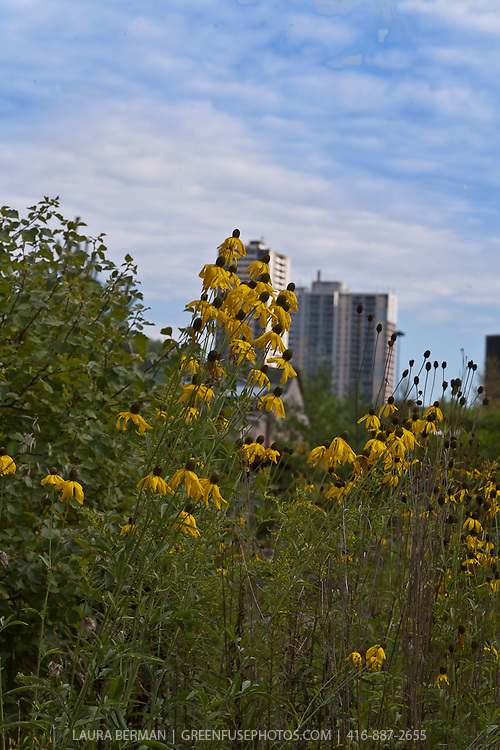 Urban landscape with native perennials. Black-eyed Susan ( Rudbeckia) .