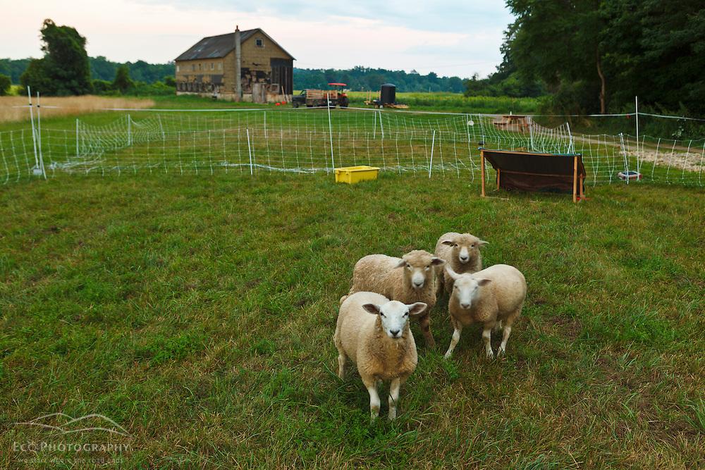 Lambs at the Crimson and Clover Farm in Northampton, Massachusetts.