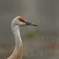 Sandhil Crane in the rain outside the town of Homer, Alaska