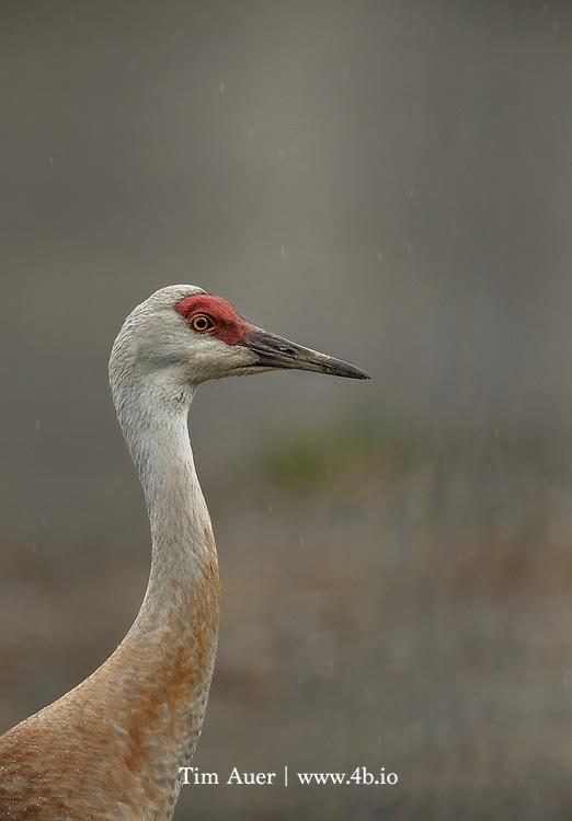 Sandhil Crane in the rain outside the town of Homer, Alaska