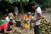 Tan Eow Chong's workers clean harvested durians on a farm, in Bayan Lepas, Pulau Pinang, Malaysia on June 17th, 2019. Tan Eow Chong is an award-winning durian farmer famed for his Musang King variety, and last year exported 1000 tons of the fruit to China from his family-run durian empire, expanding from an 80 acre farm to 1000 acres.  Photo by Suzanne Lee/PANOS for Los Angeles Times