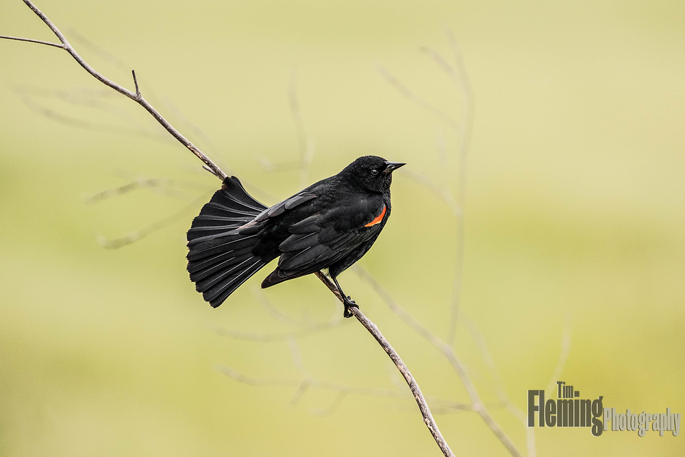 Red-winged blackbird perched on a branch in Shollenberger Park, Petaluma, California