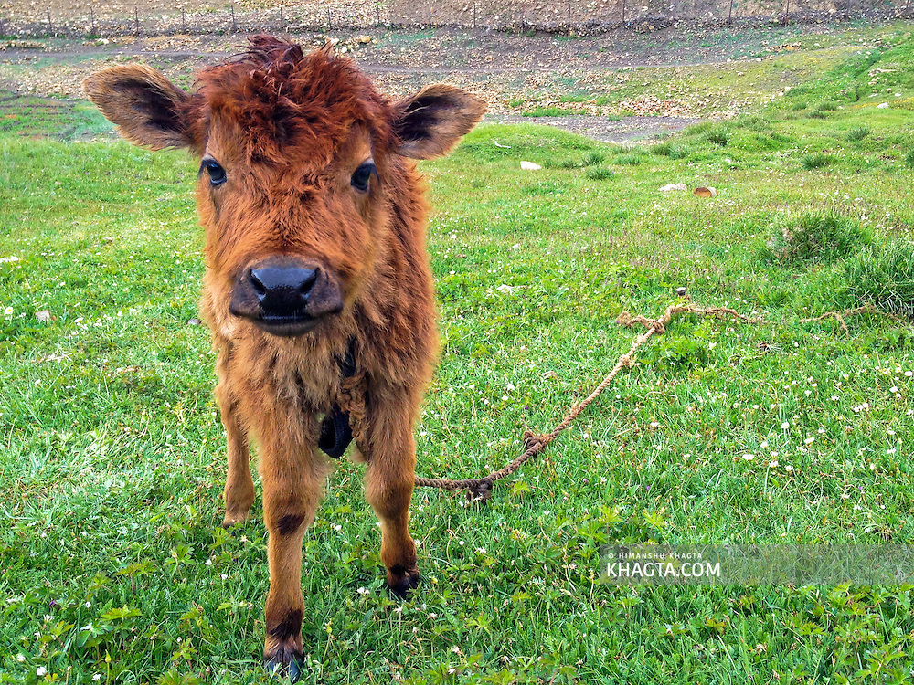 Meet the calf from Hikkim, the highest village of #Himachal Pradesh #iphoneonly