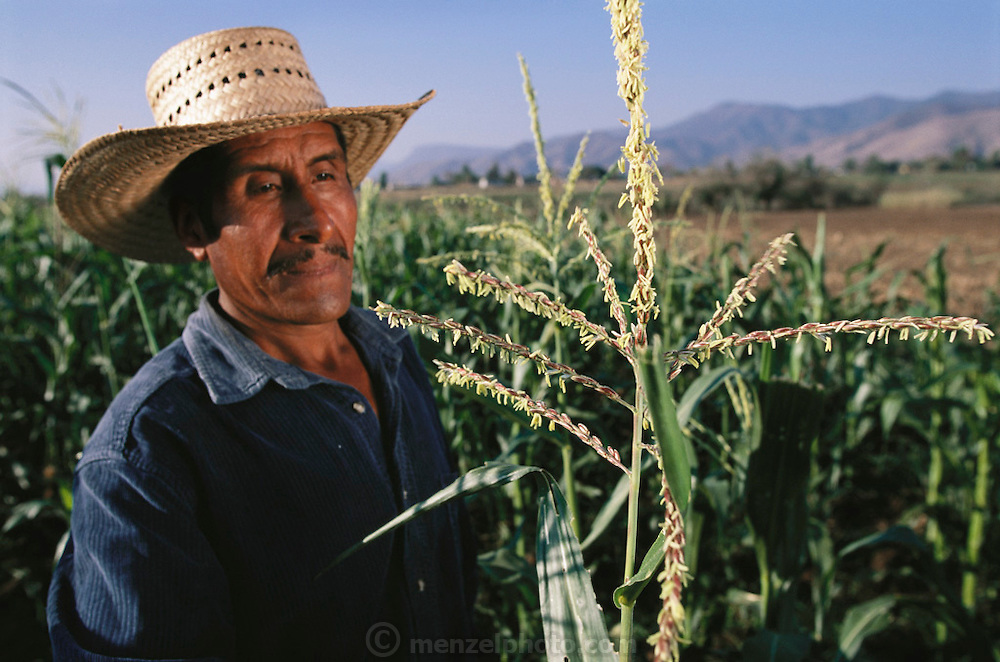 Hector Diaz Castellano, a Zapotec Indian farmer in El Trapiche (Oaxaca State), Mexico, checks pollination of corn plants he is growing for seed corn for the Itanoni Tortilleria.