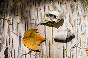 """Peeling white birch bark. Kancamagus Highway, Route 112, White Mountains, NH, USA. For wide views of fall leaf colors in White Mountain National Forest, hike the rocky UNH Loop Trail (4.8 miles) on Hedgehog Mountain in the Sandwich Range Wilderness in New Hampshire, USA. The peak intensity of autumn foliage color here is around the first week of October. Find the trailhead parking area marked """"Downes Brook - UNH - Mt. Potash Trails"""" along Kancamagus Highway (NH Route 112) across from Passaconaway Campground and Passaconaway Historic Site. The White Mountains (a range in the northern Appalachians) cover a quarter of the state of New Hampshire."""