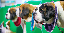 © Licensed to London News Pictures. 08/03/2018. Birmingham, UK.  Crufts dog show in the NEC. In this picture: Saint Bermard dogs.  Photo credit: Cliff Hide/LNP