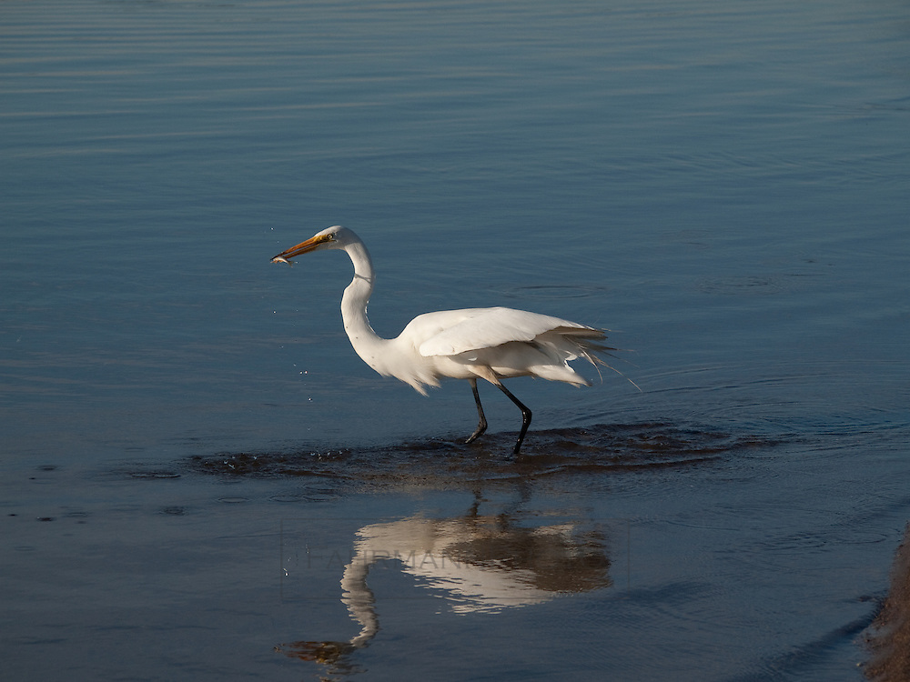 A Great Egret catches and consumes a minnow in the beach-side waters of Lake Nokomis