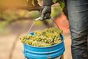 2015 Harvest at Chehalem's Corral Creek Vineyard in Newberg, OR