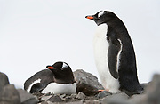 Breeding pair of Gentoo Penguins (Pygoscelis papu) from Elephant Point, South Shetland Islands, Antarctica