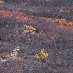 A wolf pauses among late fall colors in Denali National Park.