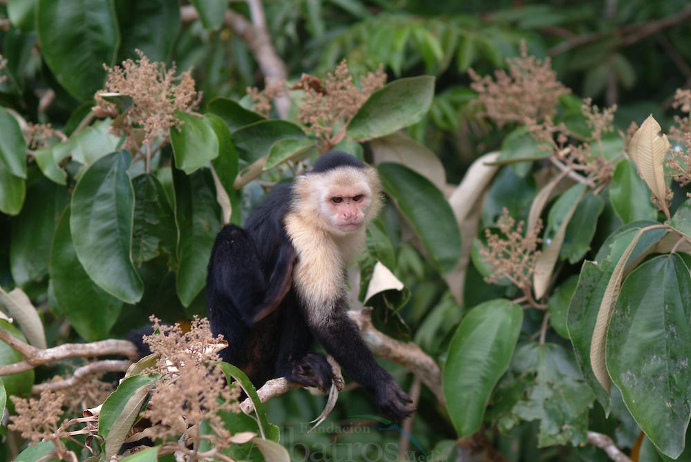 El mono carablanca, maicero cariblanco, capuchino, tanque, mach&iacute;n, caurara o carita blanca1 (Cebus capucinus) es un mono del nuevo mundo de tama&ntilde;o medio perteneciente a la familia Cebidae.<br /> <br /> Es nativo de los bosques de Am&eacute;rica Central y de la parte m&aacute;s noroccidental de Sudam&eacute;rica y muy valioso por su papel como dispersador de semillas y polen. En los &uacute;ltimos a&ntilde;os se ha convertido en una especie muy popular en Norteam&eacute;rica.<br /> <br /> Es un mono de tama&ntilde;o mediano, que alcanza en peso hasta 3.9 kg (1500 - 4000 g). Son casi completamente negros, pero tienen cara rosada y pelo blanco en gran parte del frente de su cuerpo, por eso se les llama com&uacute;nmente &quot;cariblancos&quot;.<br /> <br /> En su h&aacute;bitat natural es muy vers&aacute;til, adapt&aacute;ndose a varios tipos de bosques y consumiendo muchos tipos de comida que incluyen frutas, diferentes vegetales, invertebrados y peque&ntilde;os vertebrados. Viven en grupos que incluyen machos y hembras y que pueden exceder los 20 individuos. Se ha documentado que esta especie es capaz de recurrir a la creaci&oacute;n y uso de herramientas como armas o instrumentos para obtener comida.<br /> <br /> En Panama se pueden encontrar ocho diferentes especies de primates, de los cuales varios son considerados end&eacute;micos. <br /> <br /> &copy;Alejandro Balaguer/ Fundacion Albatros Media