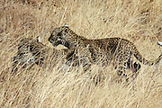 Kenya, Samburu National Reserve, Kenya, Leopard, Panthera pardus cubs Photographed in August