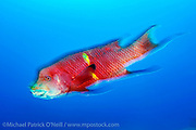 A Mexican Hogfish, Bodianus diplotaenia, swims in the Revillagigedo Archipelago, located 220 miles from the Cabo San Lucas, Mexico.