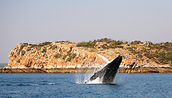 A female humpback whale breaches against stunning Kimberley cliffs.