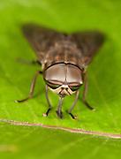 Horsefly; Tabanus; PA, Philadelphia, Schuylkill Center