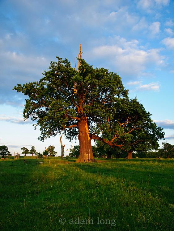 The classic english parkland of Donington Park contains many hundreds of ancient veteran Oak trees