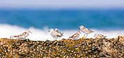 a group of little stint (Calidris minuta). This small wading shorebird is a migrant, breeding in the sub-Arctic tundra and islands, and spending the winter around the coasts of Africa. It feeds on insects, crustaceans and molluscs, which it usually finds on mudflats and estuaries. It reaches a maximum length of around 14 centimetres. Photographed in Israel, in August