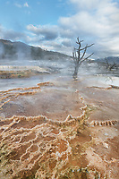 Dead trees entombed in travertine deposits colored by thermophilic bacteria. Upper Terraces of Mammoth Hot Springs, Yellowstone National Park