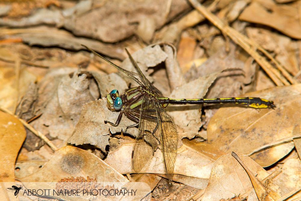 Oklahoma Clubtail (Phanogomphus oklahomensis) - male<br /> TEXAS: Sabine Co.<br /> Sabine Natiional Forest; Hemphill, 7 mi S<br /> 31.243847,-93.816333  17-May-2013<br /> J.C. Abbott #2650 &amp; K.K. Abbott