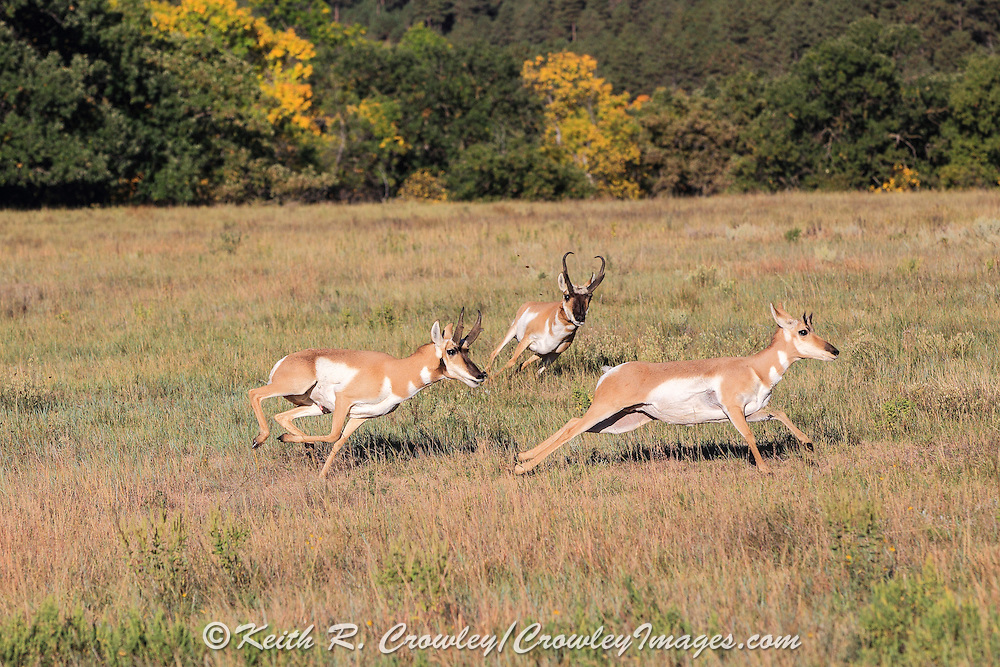 A large male Pronghorn (antelope) chases a young buck (left) and a doe during the autumn mating period.