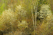 Serviceberry or Saskatoon shrub in spring foliage. Muskoka COuntry. <br /> Utterson<br /> Ontario<br /> Canada