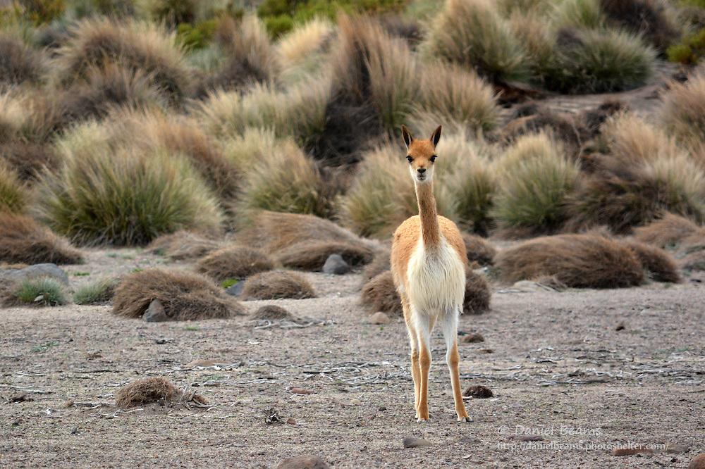 Vicuna in Sajama National Park, Bolivia