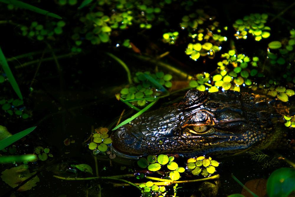 Lil Gator, Boyd Hill Nature Preserve, St. Petersburg, Fla.