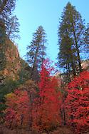Towering trees of color - Oak Creek Canyon, AZ