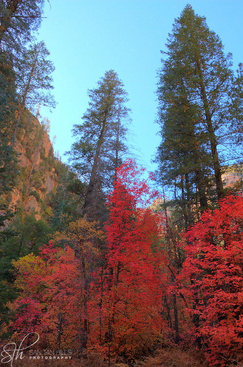 Towering trees of color - Oak Creek Canyon, AZ