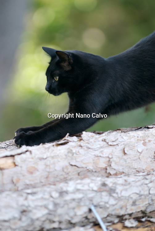 Black cat in nature