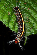Wild Silk Moth Caterpillar (Saturniidae)<br /> Yasuni National Park, Amazon Rainforest<br /> ECUADOR. South America
