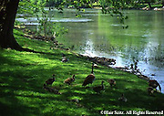 PA Landscapes, Geese, Goslings, Conodoguinet Creek, Cumberland Co., Pennsylvania