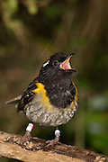 A 19th century ornithologist Sir Walter Buller described the call made by the male stitchbird (hihi) as resembling the word 'stitch'.  This call sounds a little like two stones being repeatedly stuck together.  Both males and females also have a range of warble-like calls and whistles.