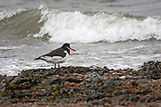 Oystercatcher on the seashore at Chanonry Point in the Black Isle, Scotland