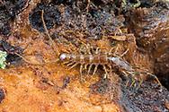 Stone Centipede (Zygethobius ecologus)<br /> OREGON: Benton Co.<br /> Marys Peak, northeast ridge at 600m elevation<br /> 23-Jan-2017<br /> J.C. Abbott &amp; K.K. Abbott